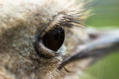 Eye ostrich Royalty Free Stock Photos