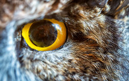 Eye of owl Royalty Free Stock Images