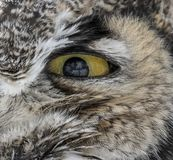 Eye of the owl royalty free stock images