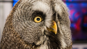 Eye of Owl. Owl symbol of education and knowledge Stock Images