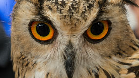 Eye of Owl. Owl symbol of education and knowledge Stock Photography