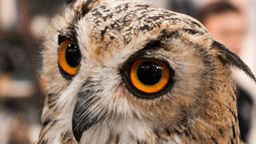 Eye of Owl. Owl symbol of education and knowledge Royalty Free Stock Photos