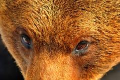 Eye para eye com um grande urso marrom imagens de stock