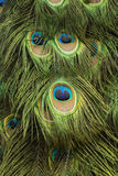 Eye of the Peacock feathers Royalty Free Stock Image