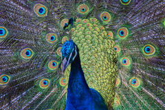 Eye of the peacock Royalty Free Stock Images