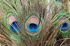 Eye of the peacock tail feathers Stock Photos