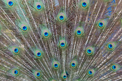 Eye peafowl Stock Photography