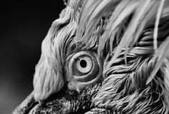 Eye of pelican. Portrait of a pelican. The portrait it is a close-up where you can see part of the head stock images