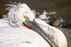Eye of Pelican Royalty Free Stock Images