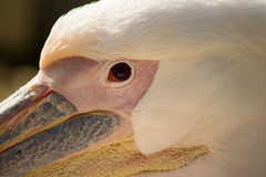 The eye of a Pelican. Single Pelican in Jerusalem Zoo on the green grass Royalty Free Stock Images