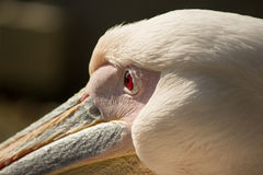 The eye of a Pelican. Single Pelican in Jerusalem Zoo on the green grass Stock Images
