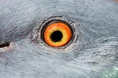 Eye of a pigeon closeup Stock Photo
