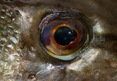 Eye of pike Stock Photo