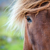 Eye of a pony. Closeup portrait of Icelandic Pony on a farm in Iceland Royalty Free Stock Photo
