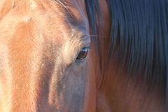 Eye of a Quarter Horse. A close up of the eye of a quarter horse.  A small detail of ranch life Royalty Free Stock Photography