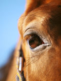 Eye of red horse closeup at blue sky Stock Image