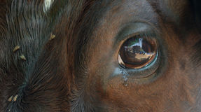 Eye Reveals. Thoughts which strikes the brain are revealed and expressed in eyes. Cow is also a living being. Difficult to control the emotions Royalty Free Stock Photo