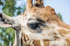 Eye of the Rothschild`s giraffe Royalty Free Stock Photo