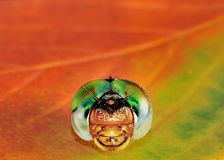 Eye's of the Dragonfly. Head shot with fall leaf background Royalty Free Stock Image