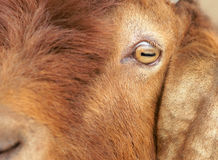 Eye of sheep. The close-up of big ear sheep's eye Royalty Free Stock Images