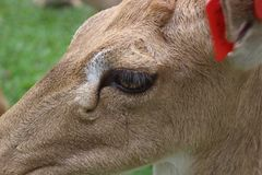 Head of a white-tailed deer stock images