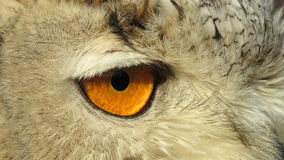 Eye of Siberian Eagle Owl Stock Image
