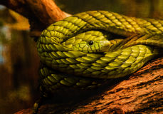 Eye of Snake coiled on tree log, Green Mamba Royalty Free Stock Image