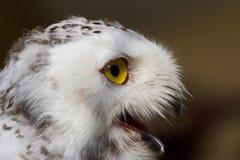 The snow owl. Eye of the snowy owl royalty free stock photos