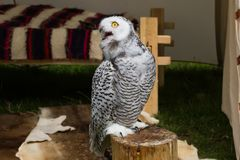 The snow owl. Eye of the snowy owl stock photography
