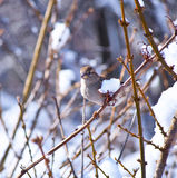 The Eye of the Sparrow. A Sparrow on a branch after a winter snow storm in 2013 Royalty Free Stock Photo