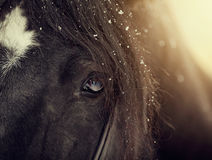 Eye of a sporting black horse Stock Images