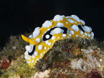 Free Eye Spot Sea Slug Stock Photos - 73455283