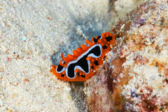 Eye spot sea slug Royalty Free Stock Photos