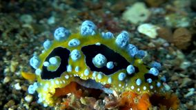 Eye spot sea slug Phyllidia ocellata stock footage