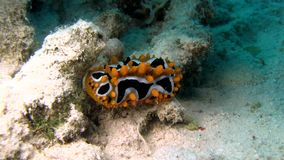 Eye spot sea slug Phyllidia ocellata in Red sea stock video