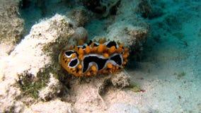 Eye spot sea slug Phyllidia ocellata in Red sea stock video