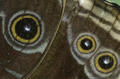 Eye spots on a tropical butterfly wings Royalty Free Stock Photography