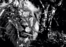 Eye Spy. Male lion emerging from African bush. Black and white. High contrast. Intimidating Royalty Free Stock Photo