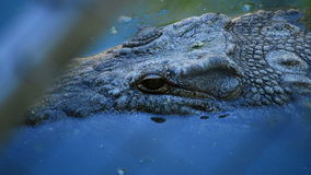 Eye and squamas of crocodile in a river. Crocodile or alligator in a river of a natural park or zoo stock footage