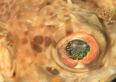 Eye of star puffer Stock Images