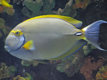 Eye stripe surgeonfish. Eyestripe surgeonfish fish keeping an eye on you Stock Images