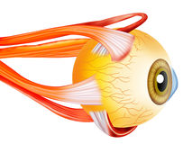 Eye structure. Eye inside structure design by illustration Stock Images