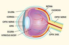 Eye structure. Illustraion background Royalty Free Stock Photography