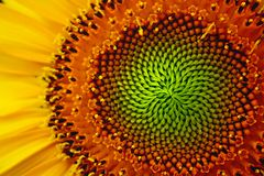 Eye of Sunflower Royalty Free Stock Photo