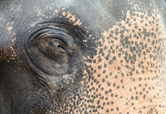 The Eye of thai elephant. The Eye of thai elephant in Ayutthaya Thailand Royalty Free Stock Image