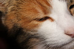 Eye of a three coloured cat Stock Images