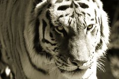 Eye of the Tiger Stock Images