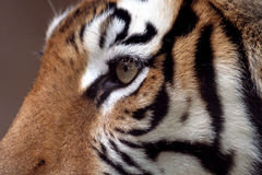 Eye of the Tiger. Tiger looking on cautiously royalty free stock images