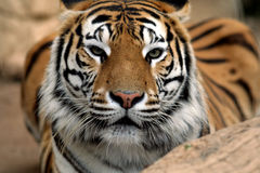 Eye of the Tiger. Tiger looking on cautiously Stock Photography