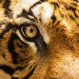 Eye of tiger Stock Images